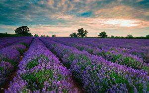 Đồi hoa Lavender