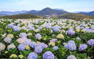 Đồng hoa cẩm tú cầu