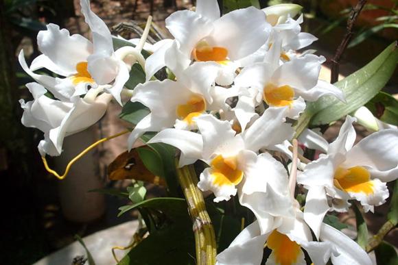 Lan Hoàng thảo thơm