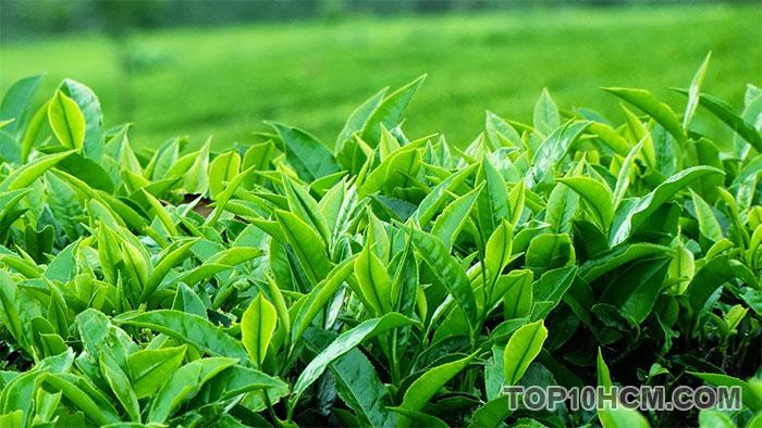 thực phẩm giúp bạn trẻ hơn - trà xanh
