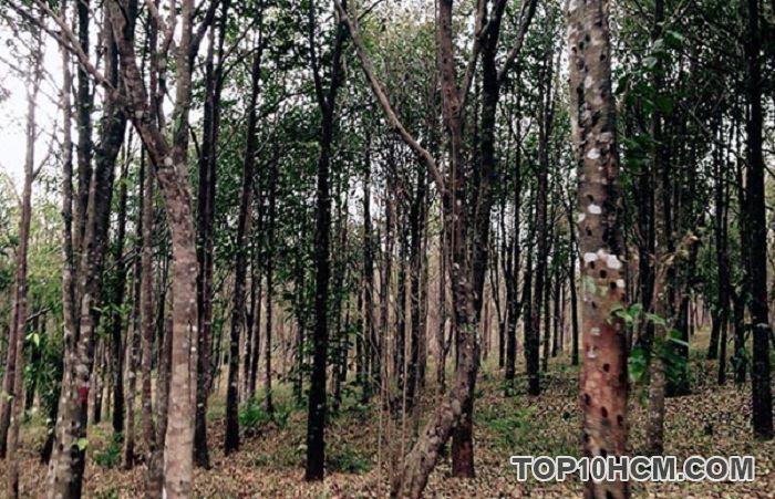 Cây trầm hương là một trong những cây gỗ phổ biến hiện nay