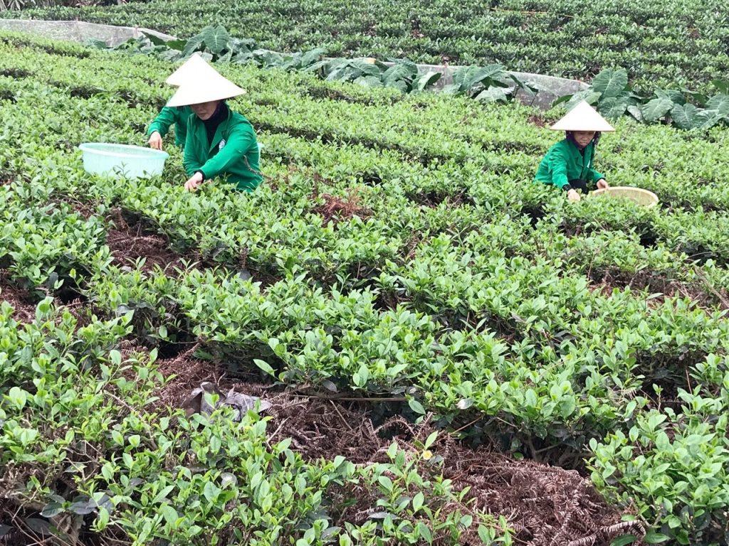 Địa chỉ mua trà tân cương sạch chất lượng giá tốt