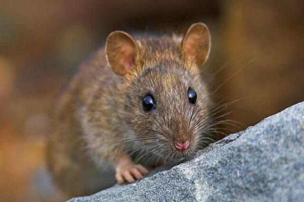 Con chuột số mấy? Mơ thấy chuột là điềm báo tốt hay xấu